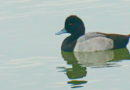 Scaup Dropouts or Pioneers
