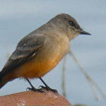 Say's Phoebe On Water