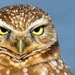No. 4 Owl Returns