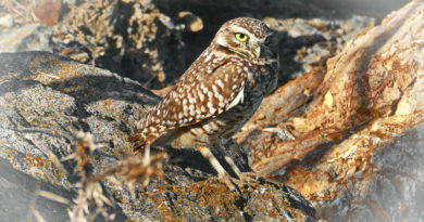 Burrowing Owl Still Here