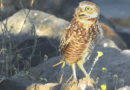 What Disturbs a Burrowing Owl?