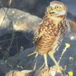 What Disturbs a Burrowing Owl?