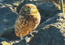Owl Sighting No. 6