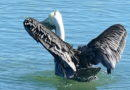 A Pelican's Shake