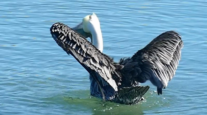 A Pelican's Shake