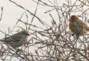 Finches at Nature's Feeder
