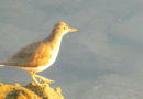Sandpiper Showing Spots