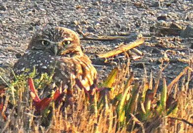 Owl Sighting No. 7