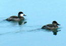 Ruddy Ducks Active