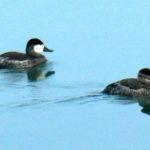 Ruddy Ducks Active