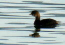 A Grebe with a Superpower