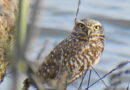 After Rain, New Owl