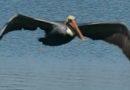Pelicans in Slow Motion