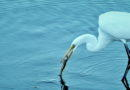 Great Egret Has Success