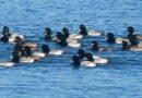 Scaup Arrive in Numbers