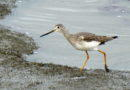 Yellowlegs at Work