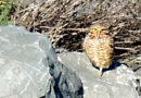 Owl on the Rocks