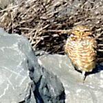 Owl on the Rocks