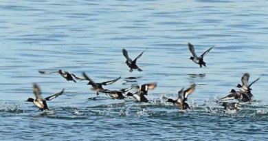 Scaup Take Off — Or Not