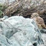 Rock Owl Persists