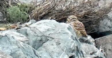 Rock Owl Still Here