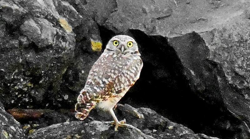 Two Owl Tuesday
