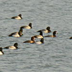 Scaup Come All the Way