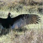 Turkey Vulture in the Sun