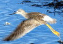 Yellowlegs, the Lesser