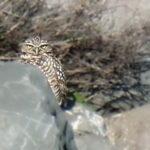 AWOL Owl Returns