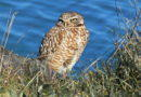 North-side Owl Recovers