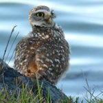 One Owl AWOL