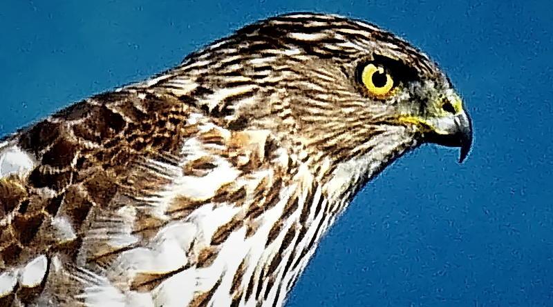 Cooper's Hawk on Pole