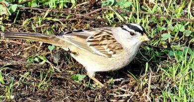 Sparrows After Rain