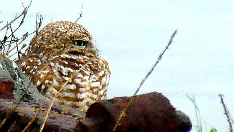 Owl Diary: Friday 1/18