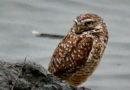 Owl Diary: Sunday 1/20
