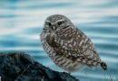 Owl Diary: Sunday 1/27