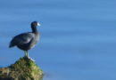 A Coot Speaks