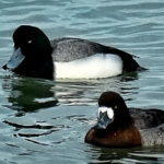 Return of the Scaup?
