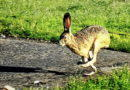 Hare in Owl Land