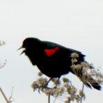 Redwings in January!