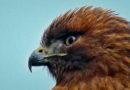 Confident Hawk
