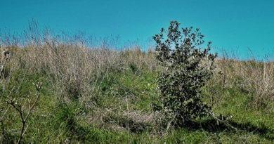 Flora Friday: Holly Oak