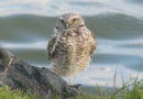 Owl Diary Feb. 16-23