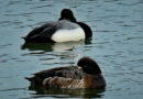 Sleepy Scaup Drop In