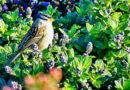 Sparrow Basking