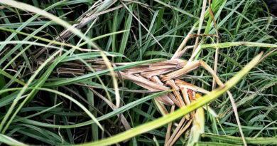 Flora Friday: Four Grasses