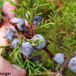 Flora Friday: Five Evergreen Trees