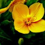 Shy Wildflower Plus
