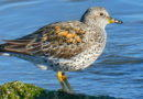 New: Surfbird